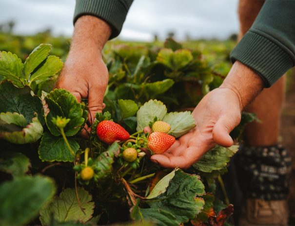 Top-of-The-Town-Stanthorpe-Accommodation-Attractions-Fruit-Picking